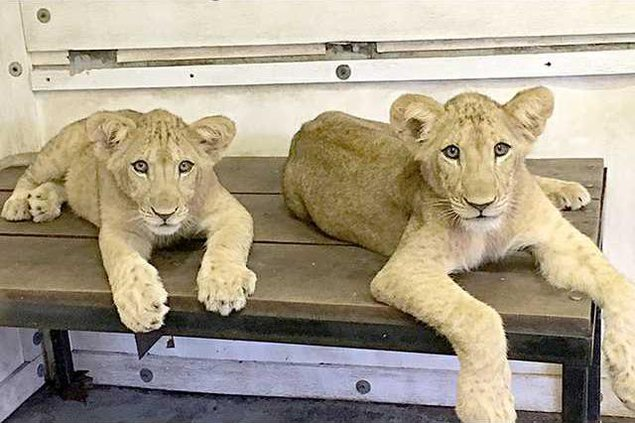 new deh new lion cubs at zoo pic web