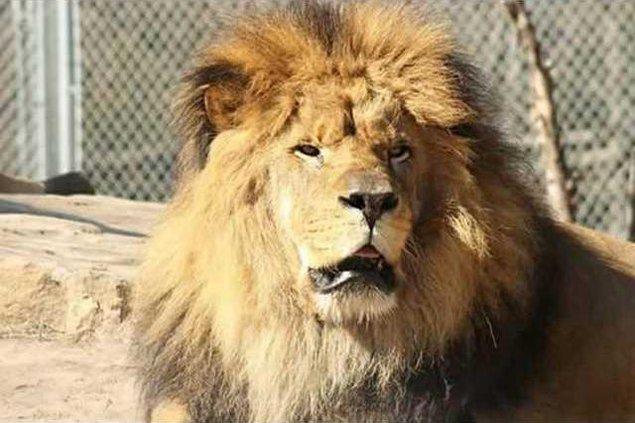 new deh zoo lion dies mumbasa pic web