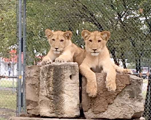 new_Deh_zoo lions  cubs pic.JPG