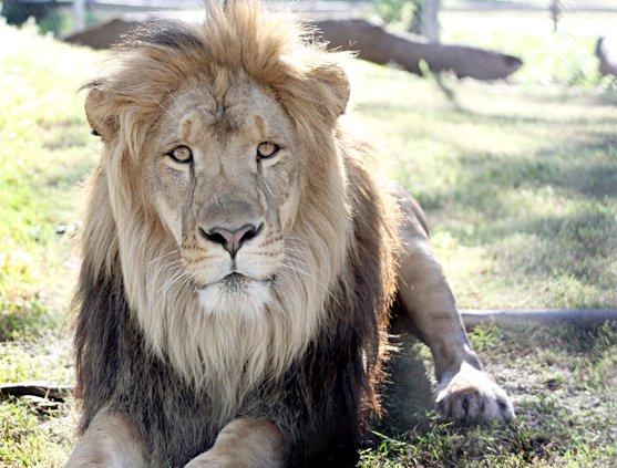 new_deh_zoo lion luke pic.JPG