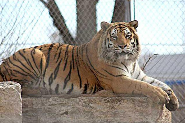 new deh sunny the tiger pic web