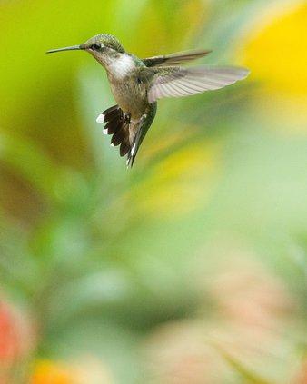The Wetland Explorer: Hummingbirds Abound! - GREAT BEND TRIBUNE