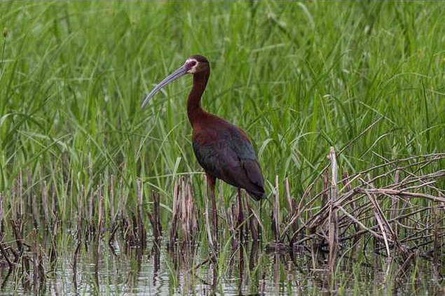 new slt migration-ibis