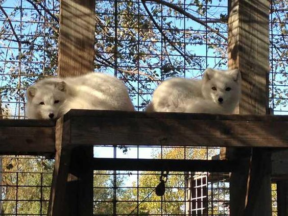 zoo slt arctic foxes