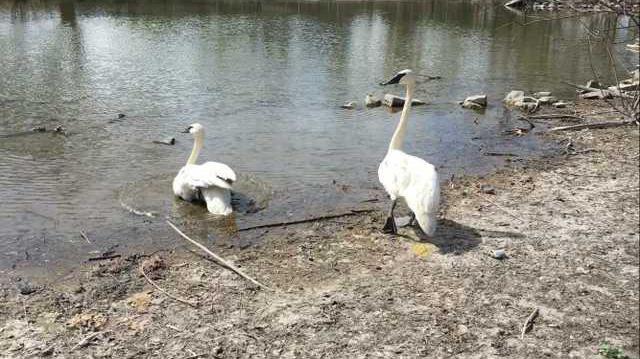 zoo slt courtesy-swans