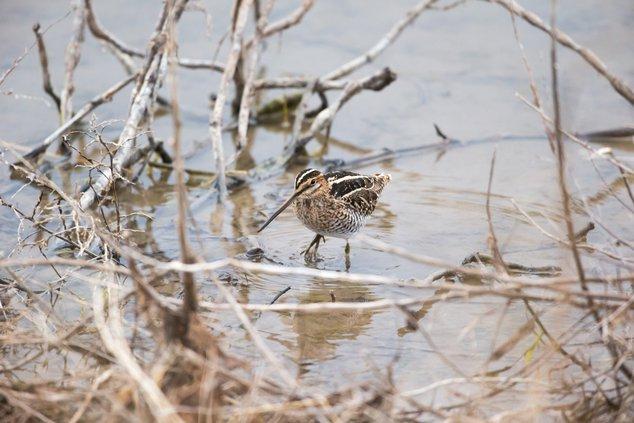 Marsh Musings snipe