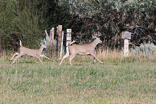 new deh deer rut photo web