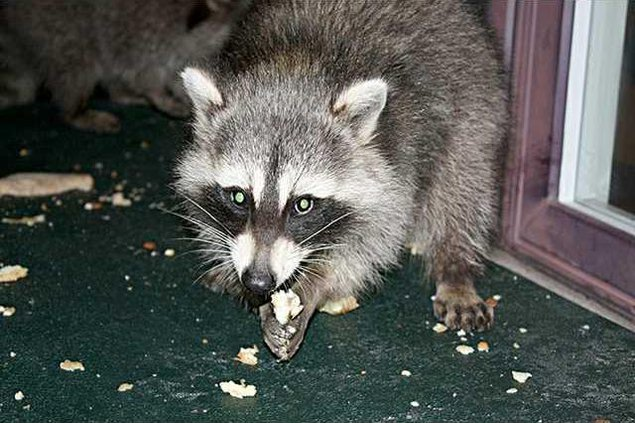 new deh raccoon distemper pic web