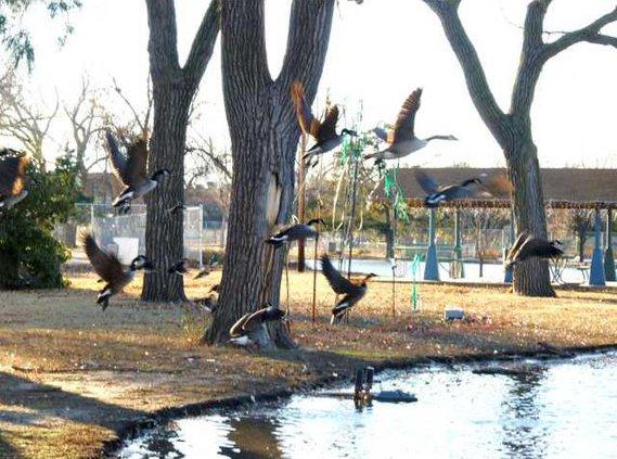 zoo slt geese