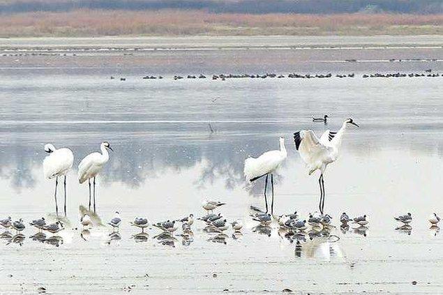 new deh quivira whooping crane migration pic web