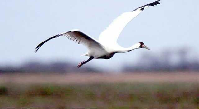 new deh whooping crane migration pic web
