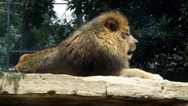 new slt zoo lion