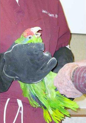 zoo slt african-parrot