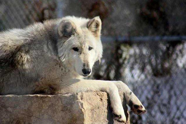 zoo slt wolf