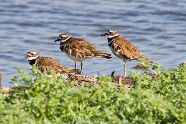 hoi kl Marsh musings killdeer