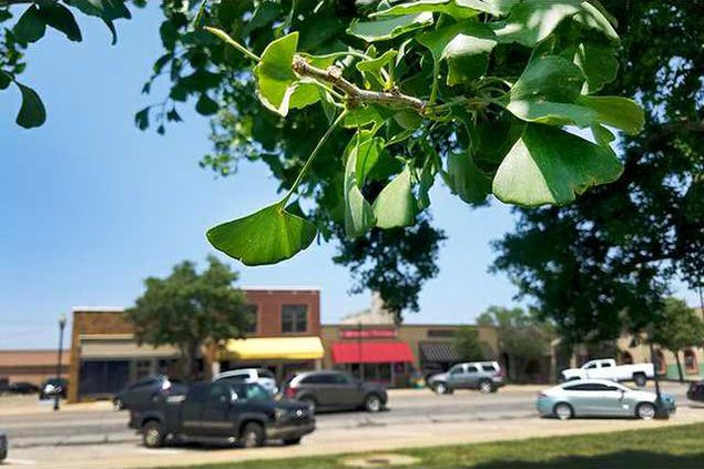 new deh city council ginkgo tree pic web