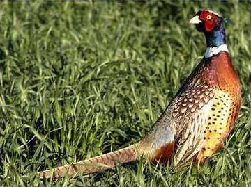 new deh pheasant numbers pheasant pic