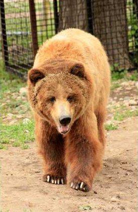 new slt bear