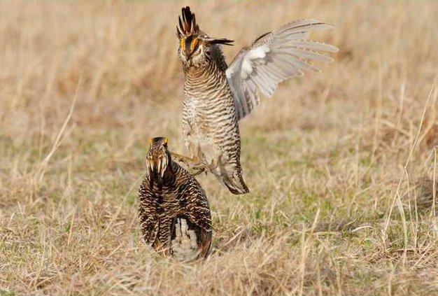 new slt prairie-chicken