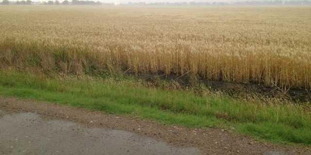 new vlc Wheat