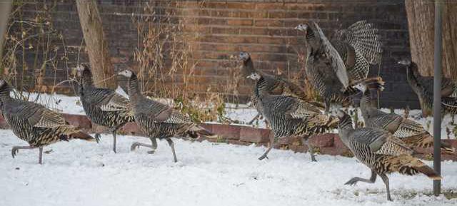 turkey pic cropped 0368