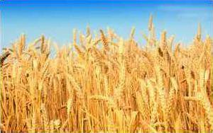 wheat crop.psd
