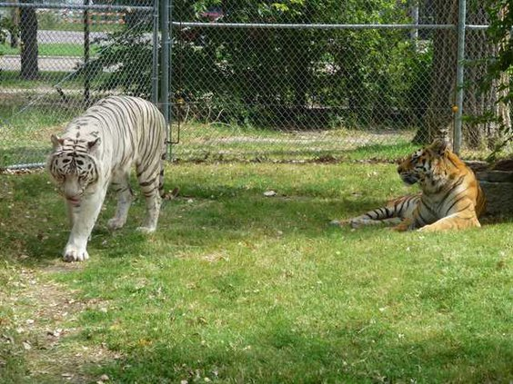 zoo sg 2tigers