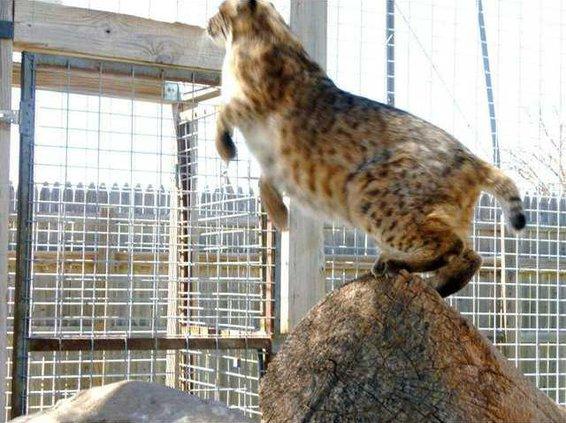 zoo slt bobcat
