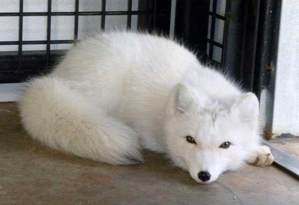 zoo slt fox