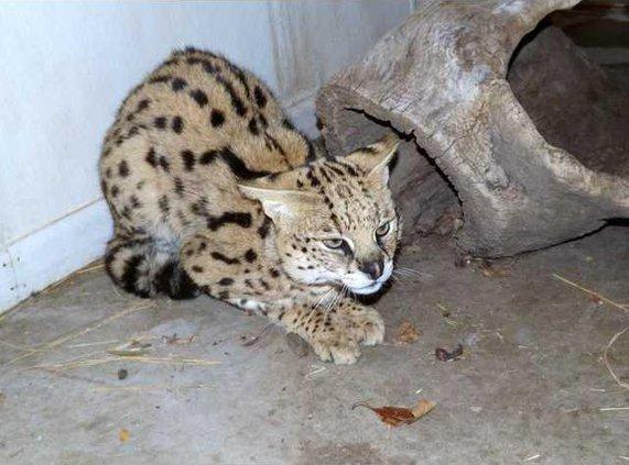 zoo slt serval-cat