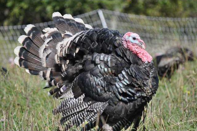 new deh turkey productrion pic 2