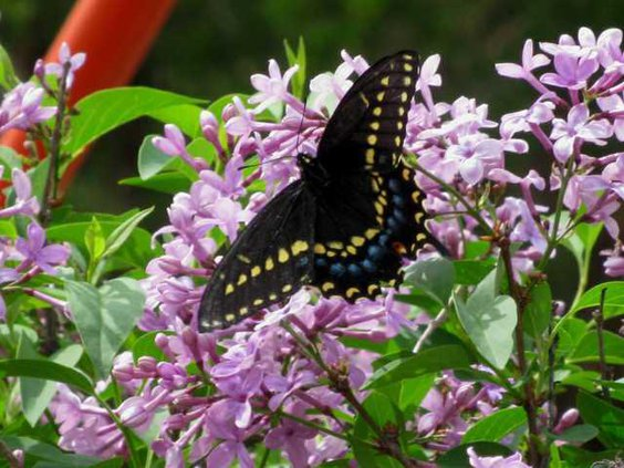 new lgp butterflycountpic1