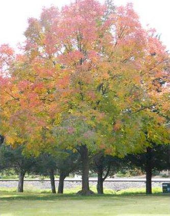 new slt tree alina
