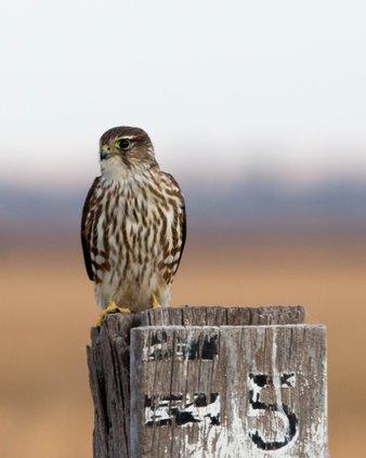 Marsh musings merlin falcon
