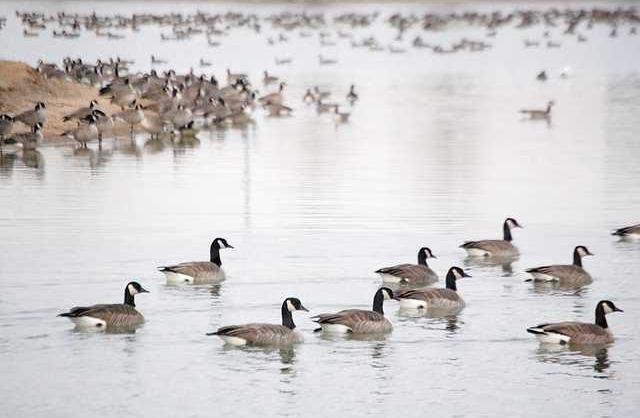 new deh geese pic