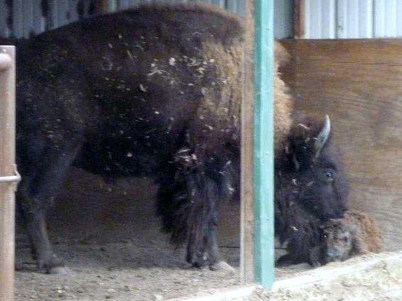 new slt baby bisonII