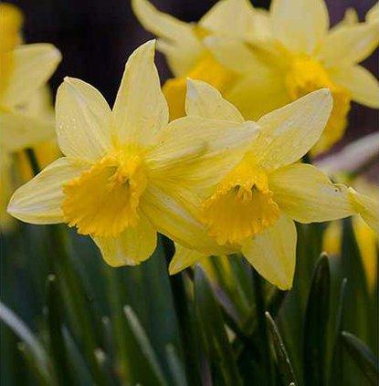 new deh daffodils2008
