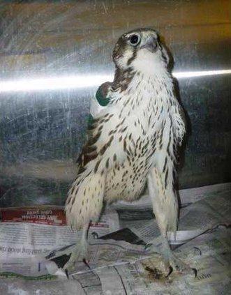 new slt falconIII