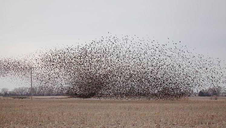 bird count blackbird pic.jpg