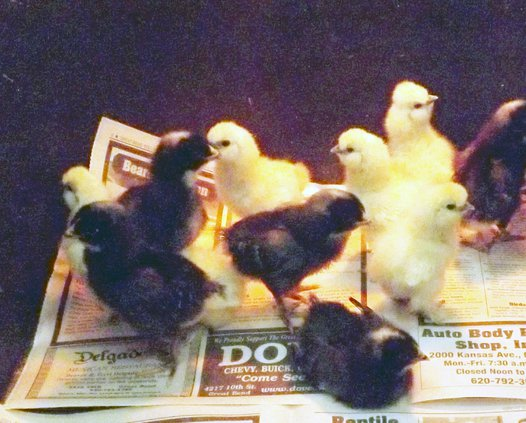 z00 chicks MAIN.jpg