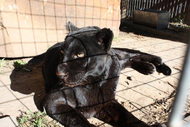 new_deh_gb zoo leopard dies pic