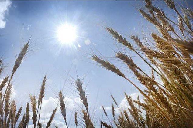 new deh wheat photo