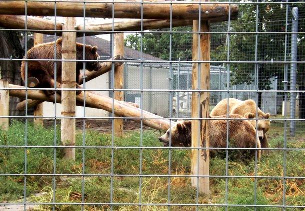 zoo bears play 10-2019