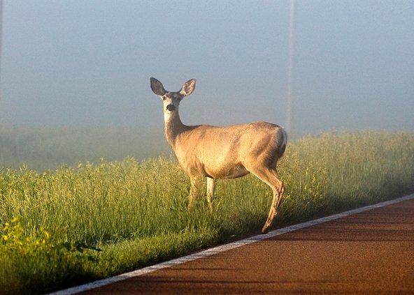 deer rut pic