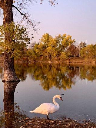 Penny  Jones reflecting trees and swan