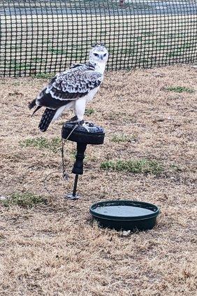 new_vlc_Marshal eagle.jpg