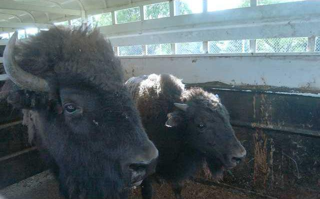 new deh buffalo second pic
