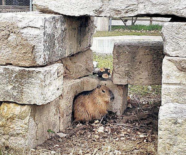 capybara-2021