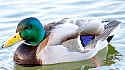 spt_lgp_waterfowlpic