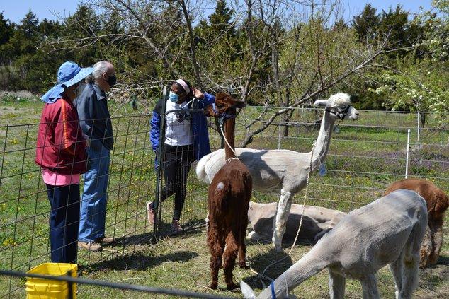 Volunteer with alpacas